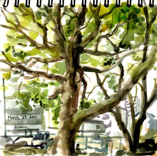 A_camphor_tree